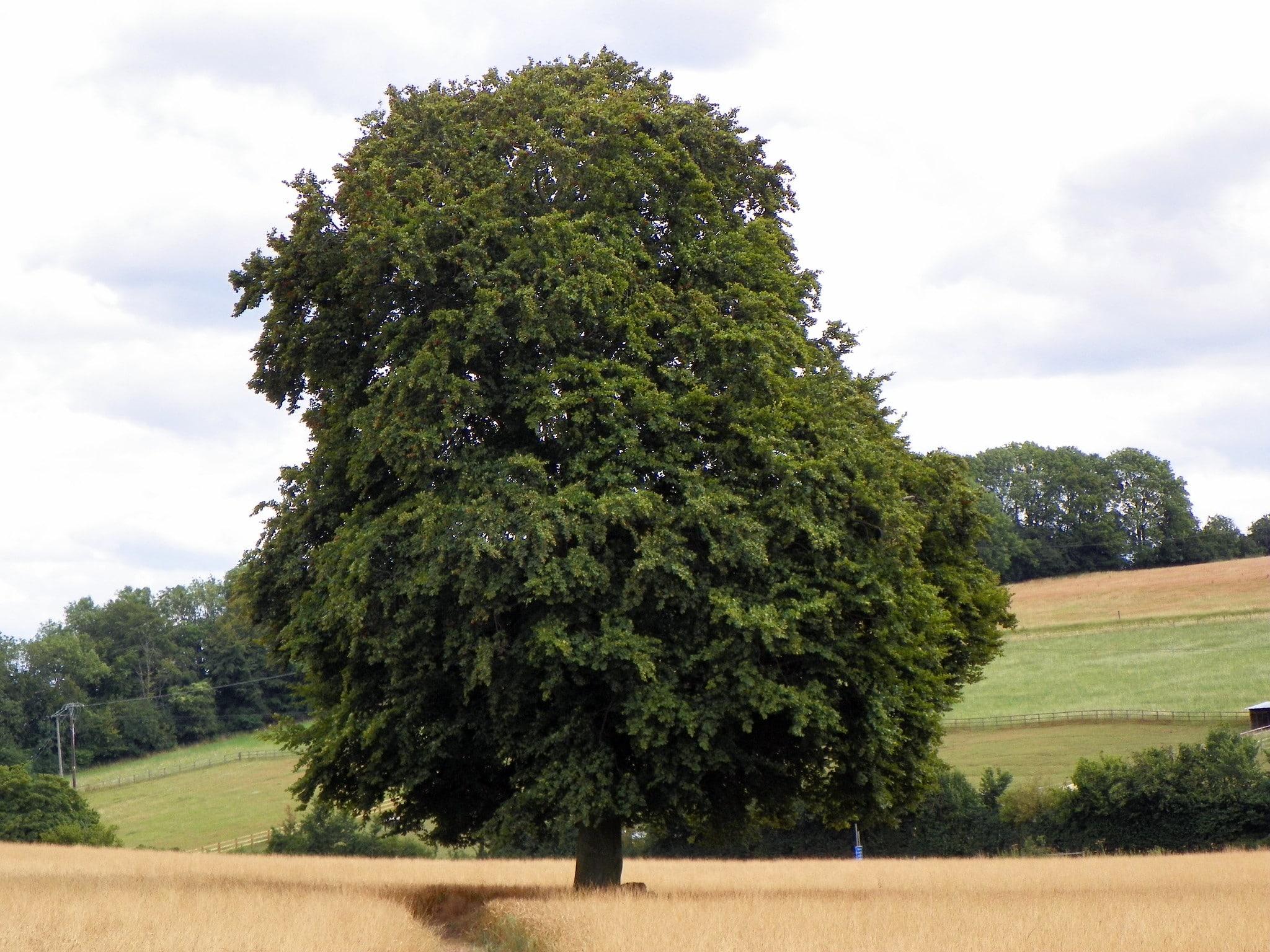 El haya es un árbol grande