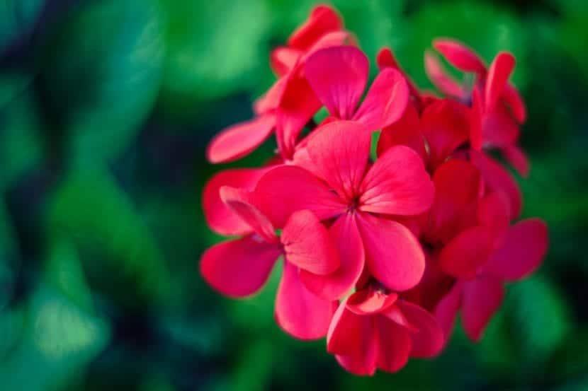 La flor de geranio es preciosa