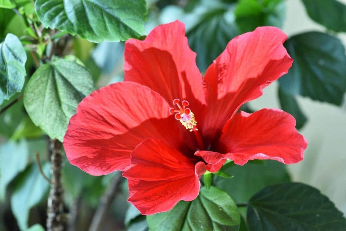 Los hibiscus son fáciles de cuidar