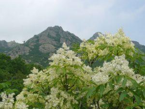 El fresno florido es de tamaño mediano