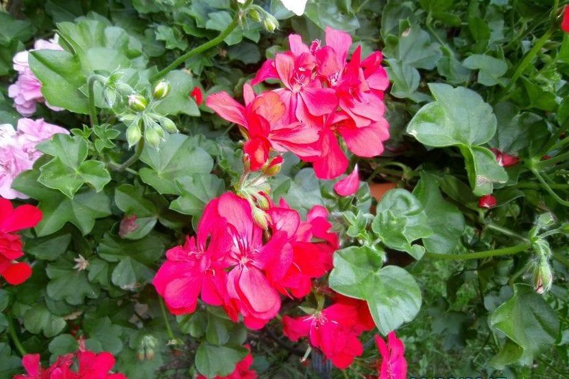 Los geranios se trasplantan en primavera
