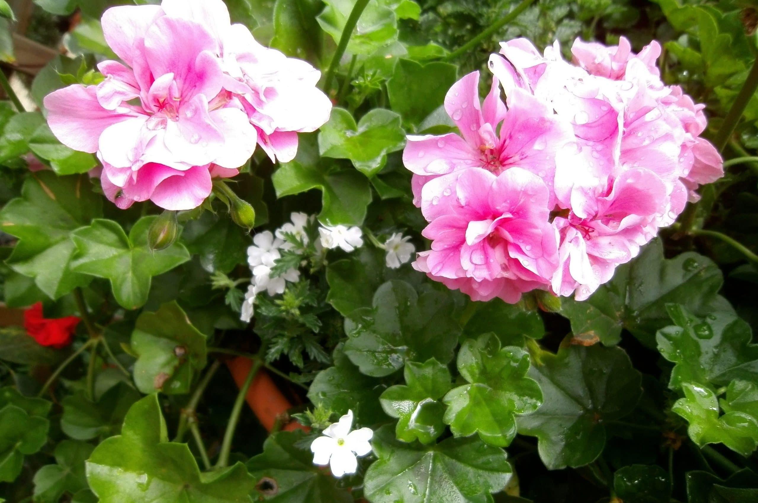 Los geranios son plantas ornamentales