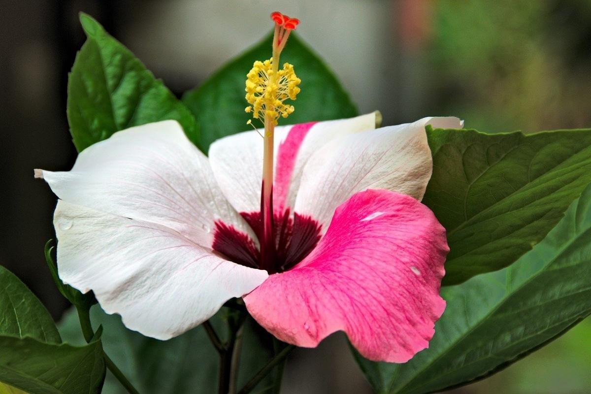 Los Hibiscus son arbustos de pequeño tamaño
