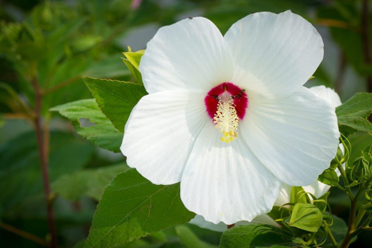 Hay muchos tipos de hibiscus