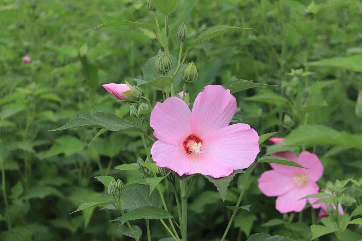 Hay muchos tipos de hibisco, como el Hibiscus mutabilis