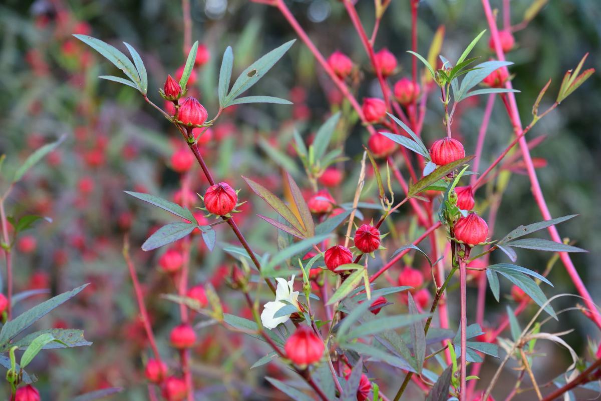 El Hibiscus sabdariffa es una planta tropical