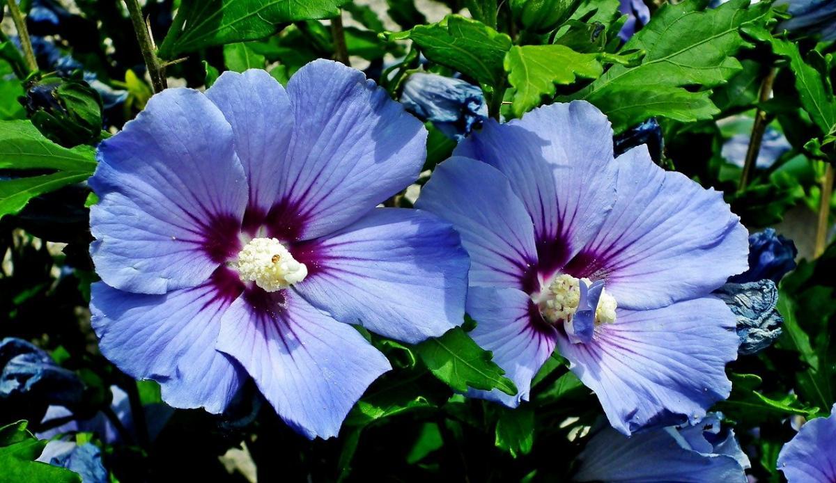 El Hibiscus syriacus es un arbolito