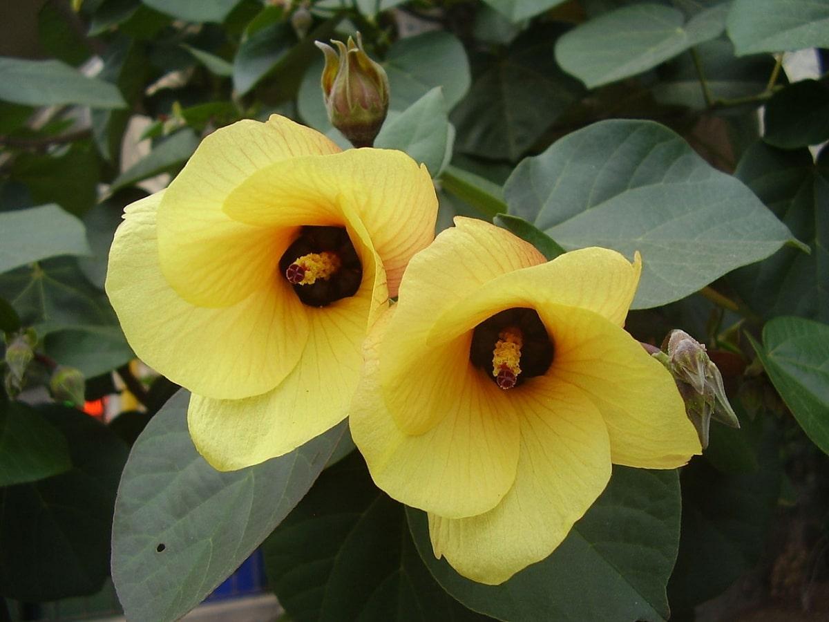 El Hibiscus tiliaceus es una planta de flores amarillas