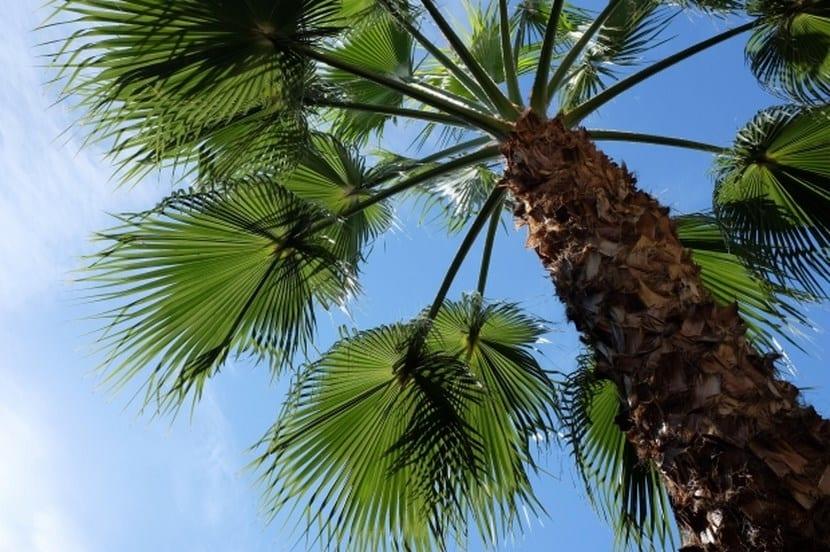 Palmeras consejos y recomendaciones for Tipos de palmeras de exterior