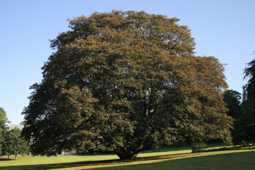 Acer pseudoplatanus Atropurpureum