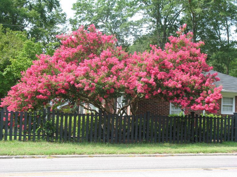 Las flores del rbol de j piter for Arboles que dan sombra para jardin