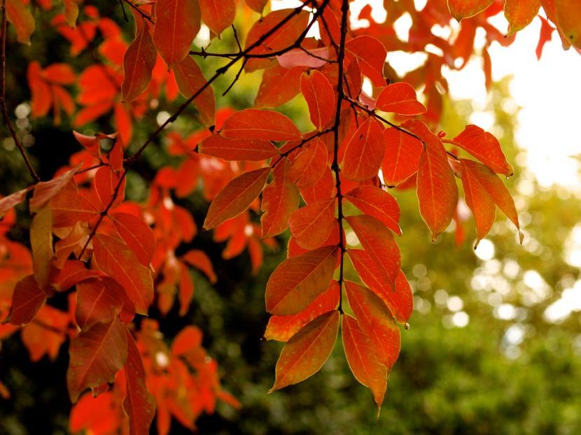 Lagerstroemia indica en otoño