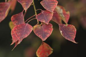 Sapium en otoño