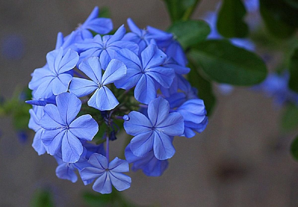 Las flores de la celestina pueden ser azules