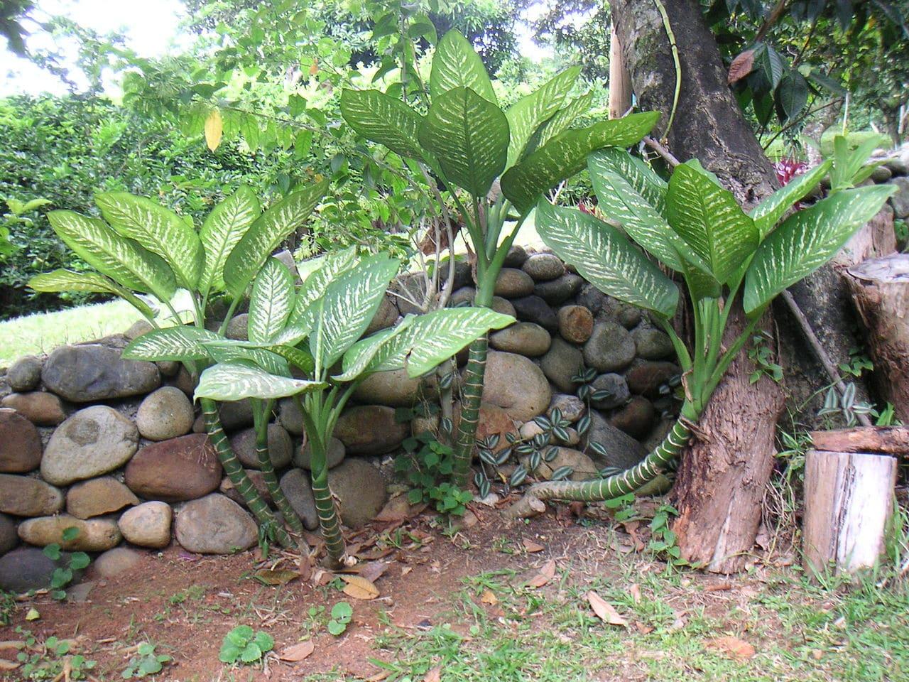 Vista de la dieffenbachia en jardin
