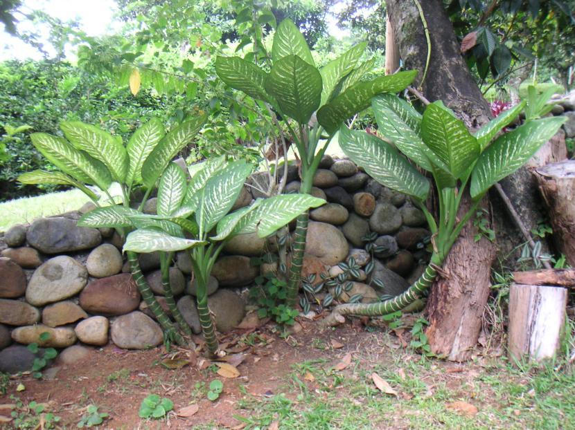 Cultivo y cuidados de las dieffenbachia for Matas de jardin