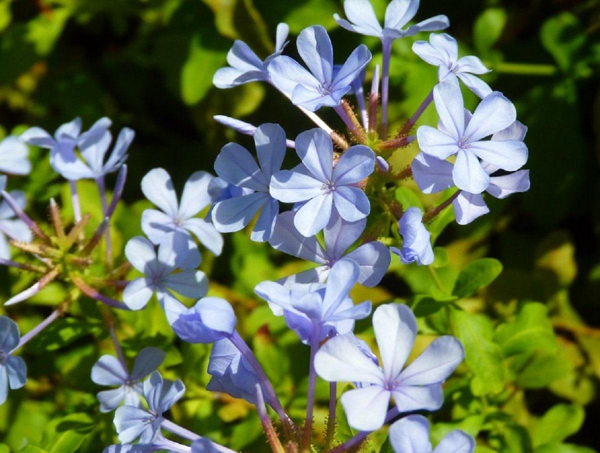 Celestina es una planta de jardín muy fácil de cuidar