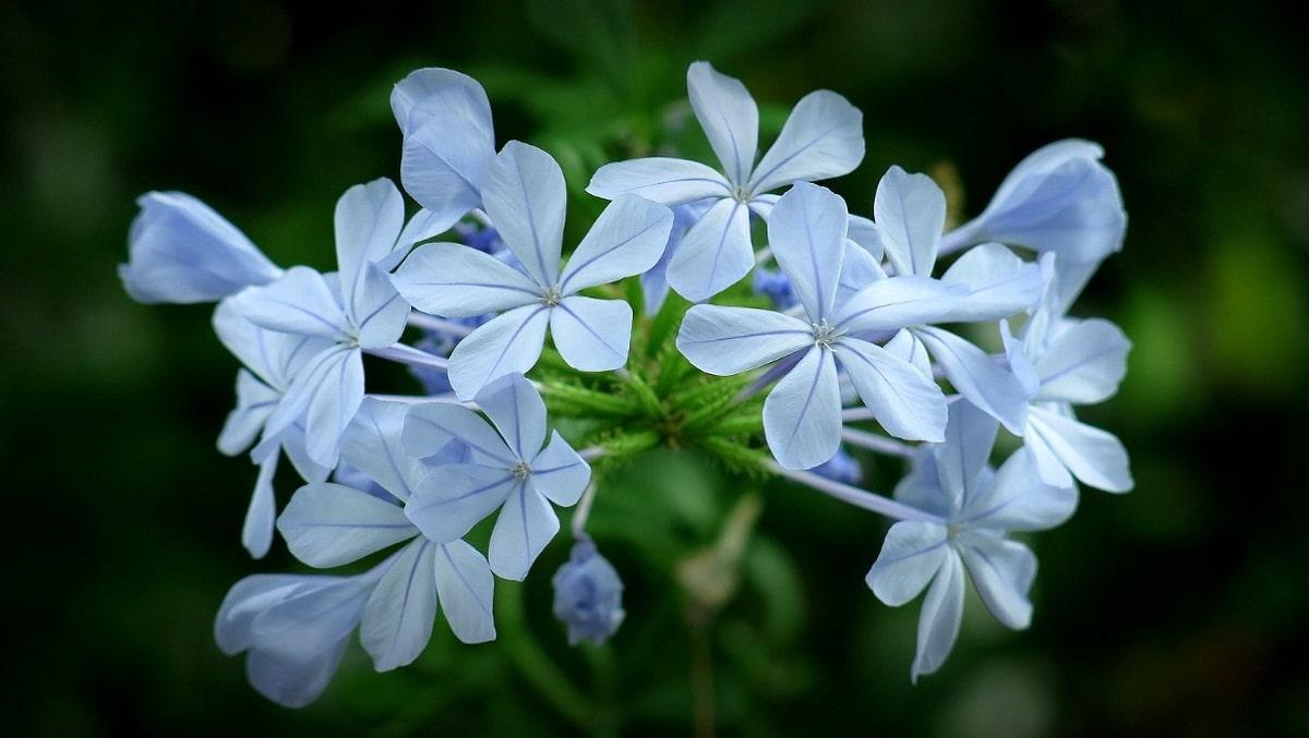 Las flores de la celestina brotan en gran número