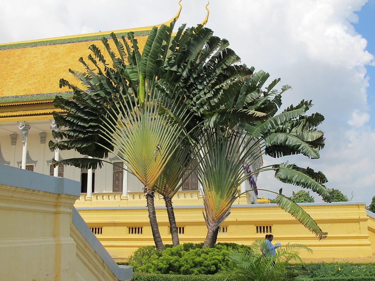 La palma de los viajeros es una planta con tronco fino