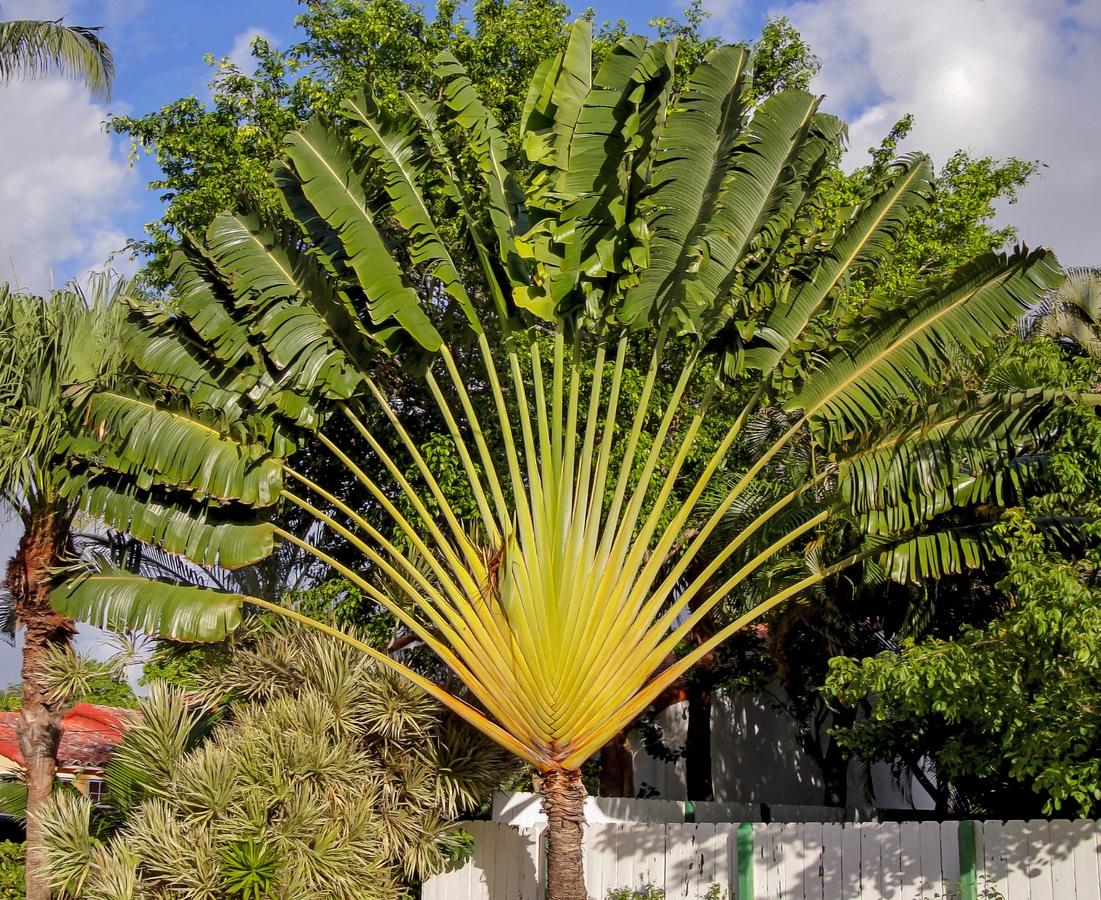 La palma de los viajeros es una planta herbácea