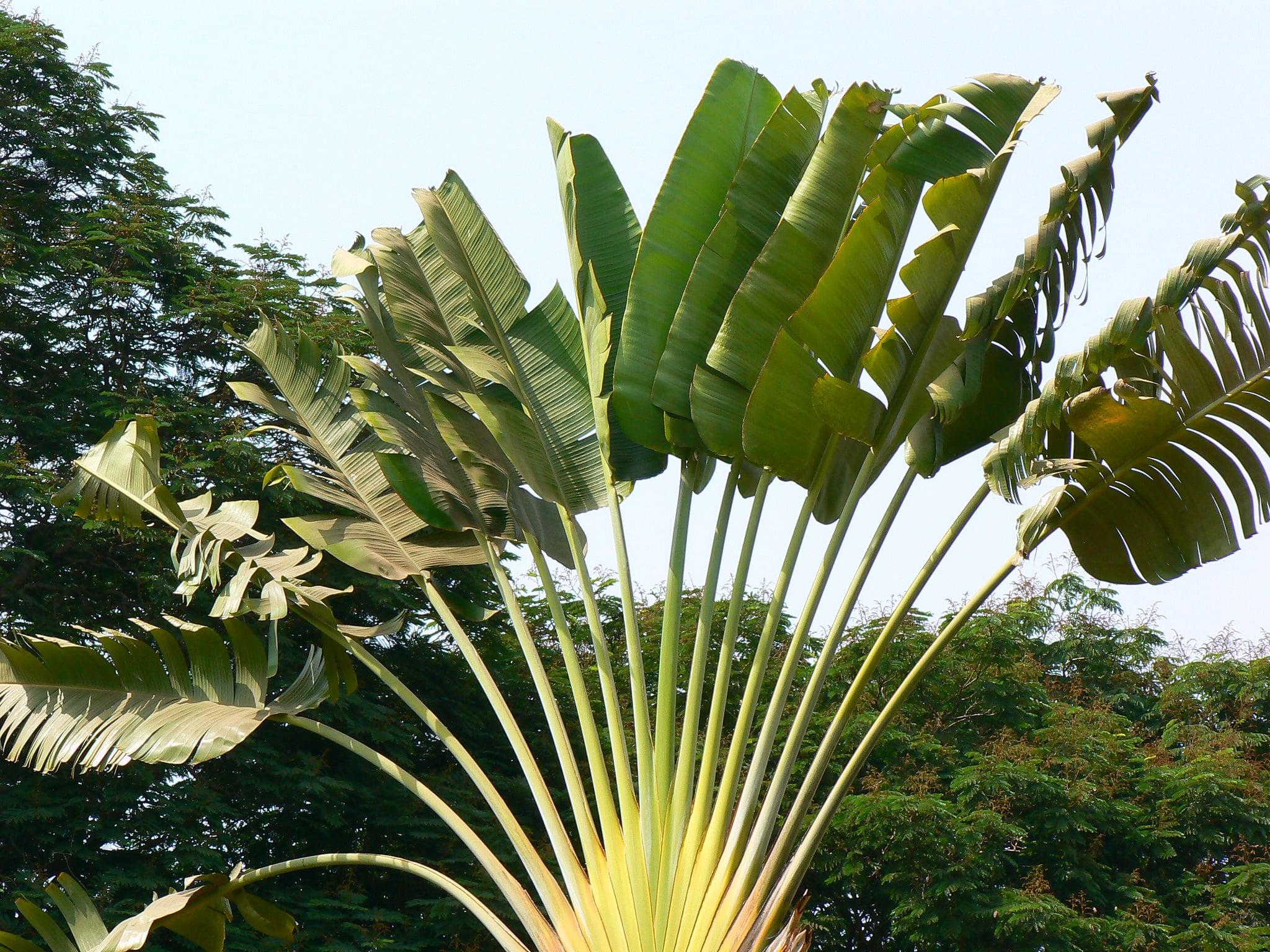 La Ravenala madagascariensis es una planta grande