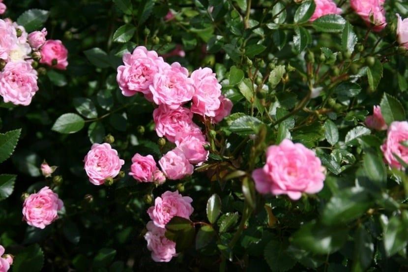 Plantar rosas a partir de semillas for Estudiar jardineria