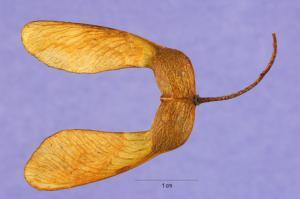 Semilla de Acer saccharum