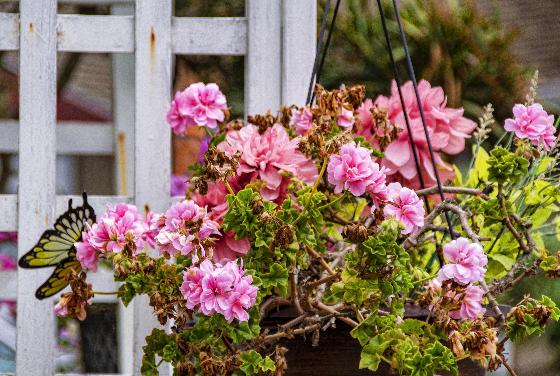 Los geranios producen flores de varios colores