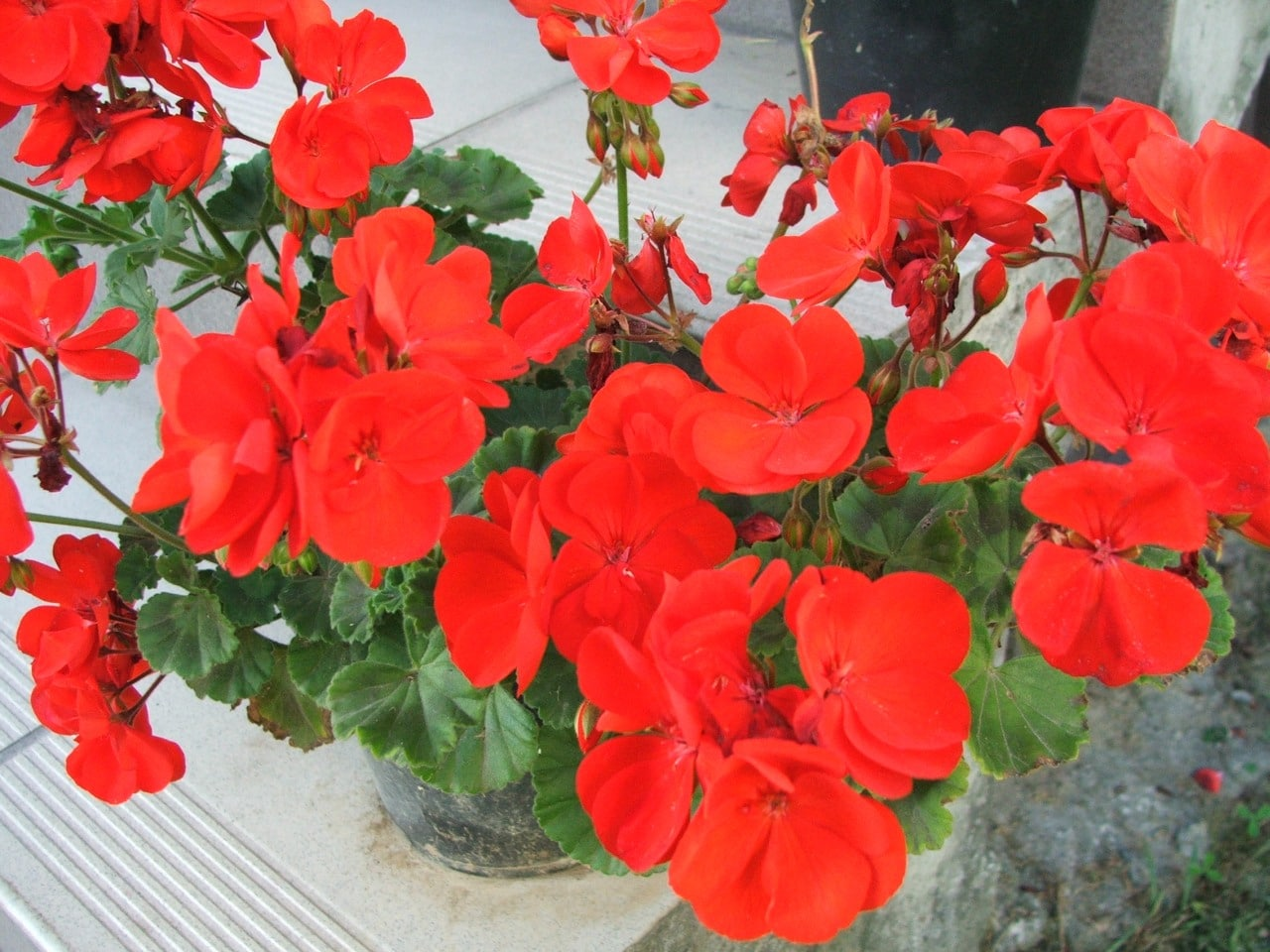 El geranio zonal es una planta de flores rojas, rosas, o blancas