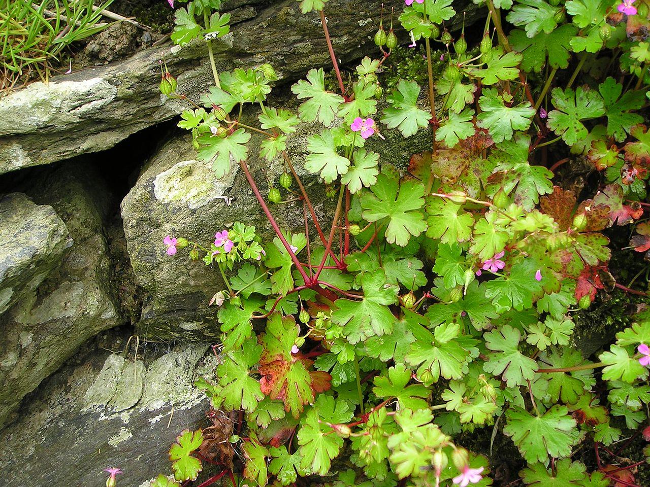 El Geranium lucidum es frecuente en caminos