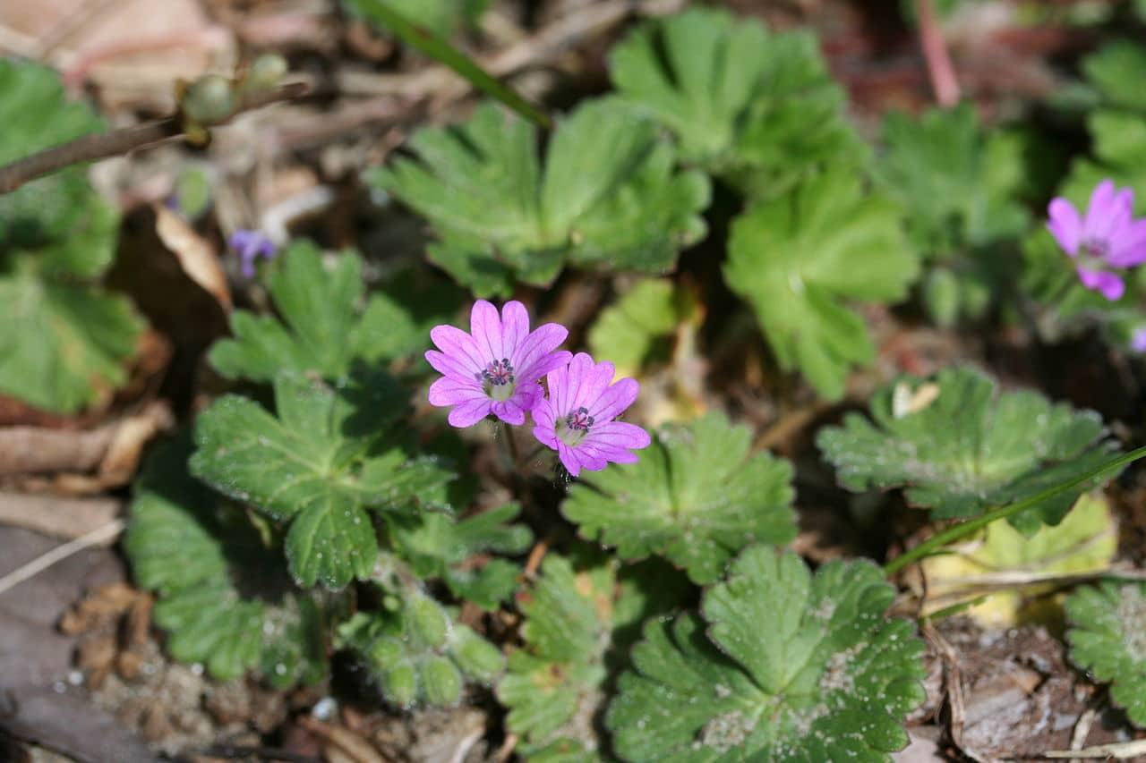 El Geranium molle es una planta herbácea