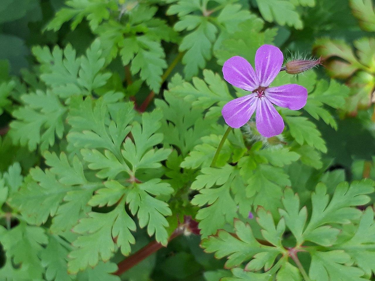 El Geranium robertianum es una planta herbácea