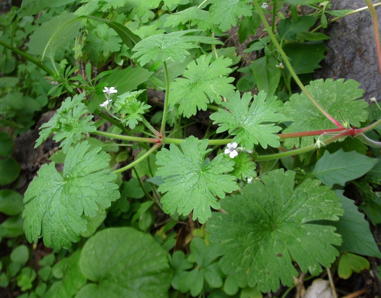 El Geranium rotundifolium es una planta de flores pequeñas