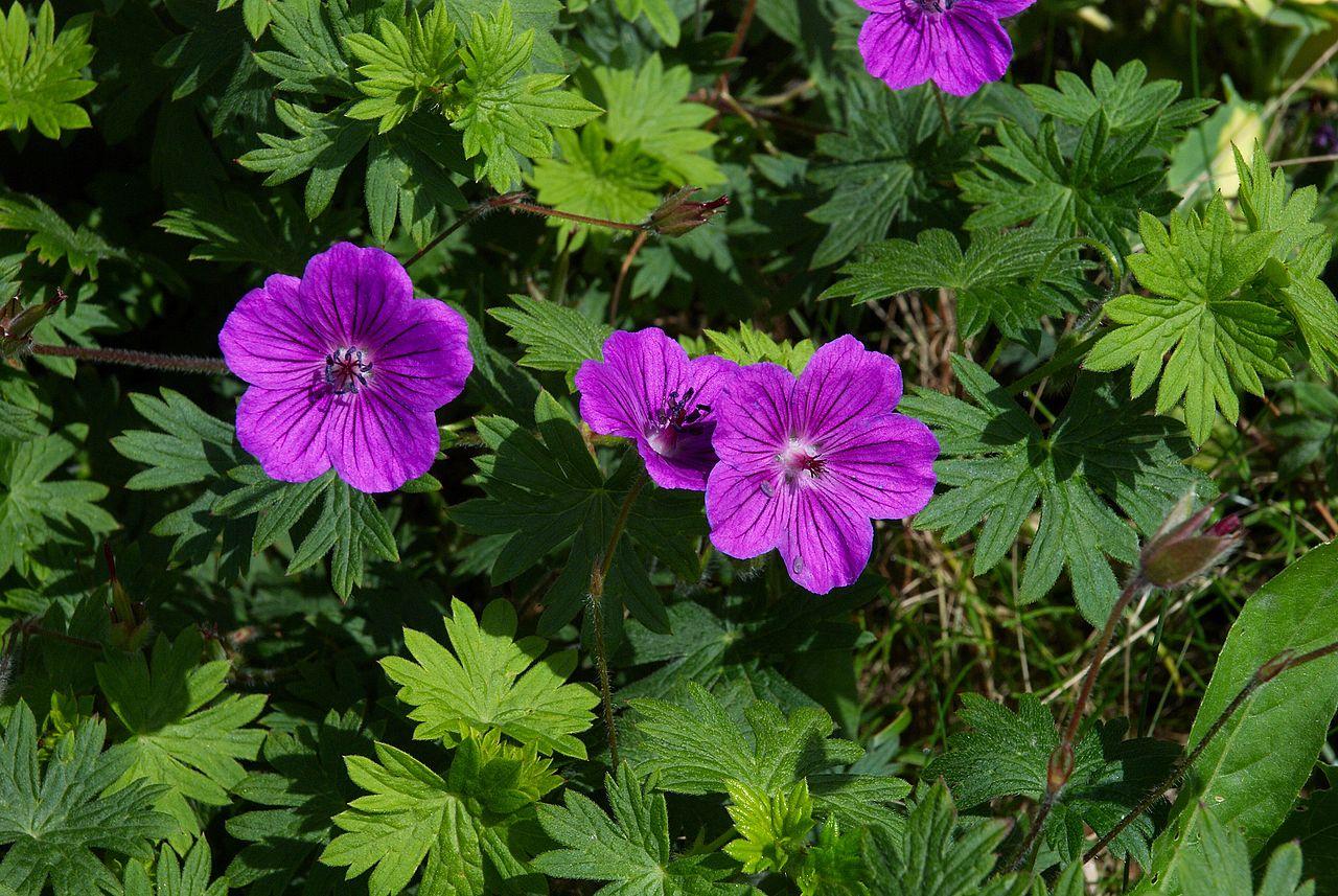 El Geranium sanguineum es una planta de flores moradas