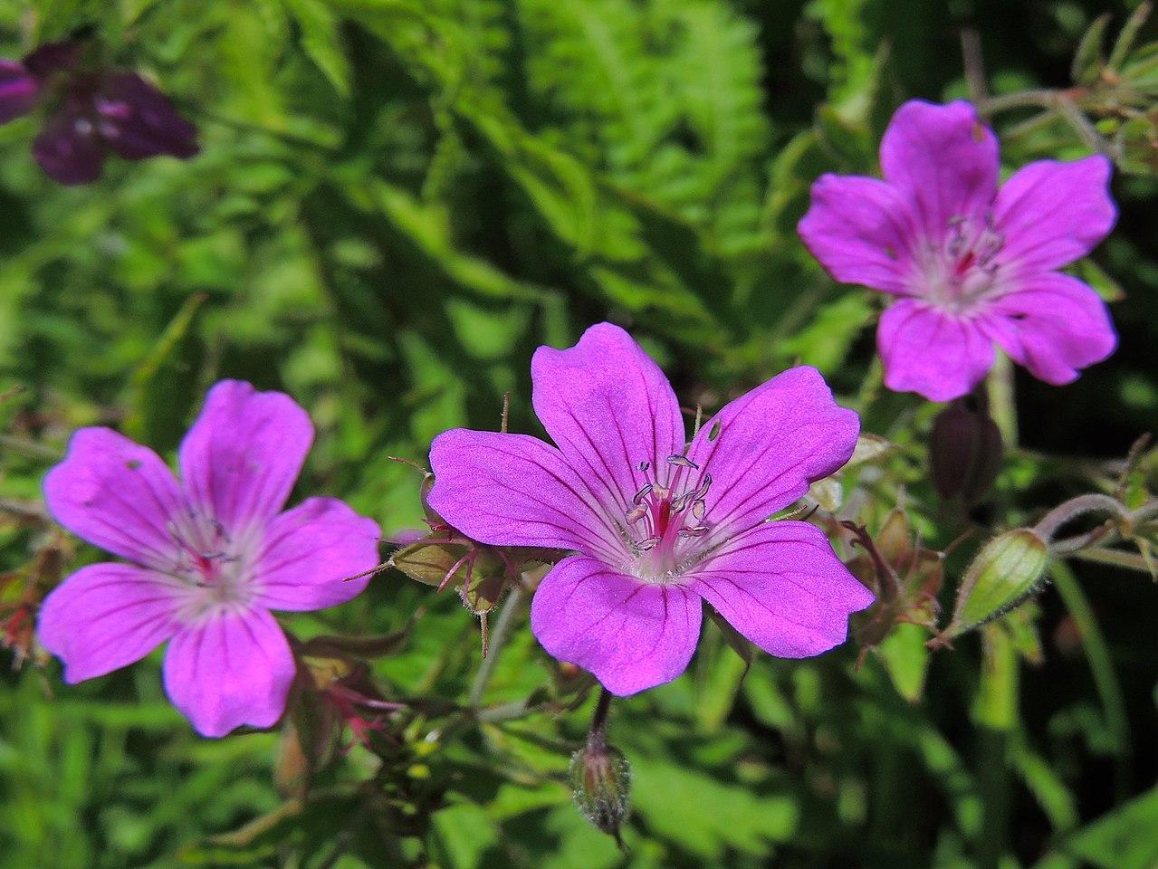 El Geranium sylvaticum es una planta de flores preciosas