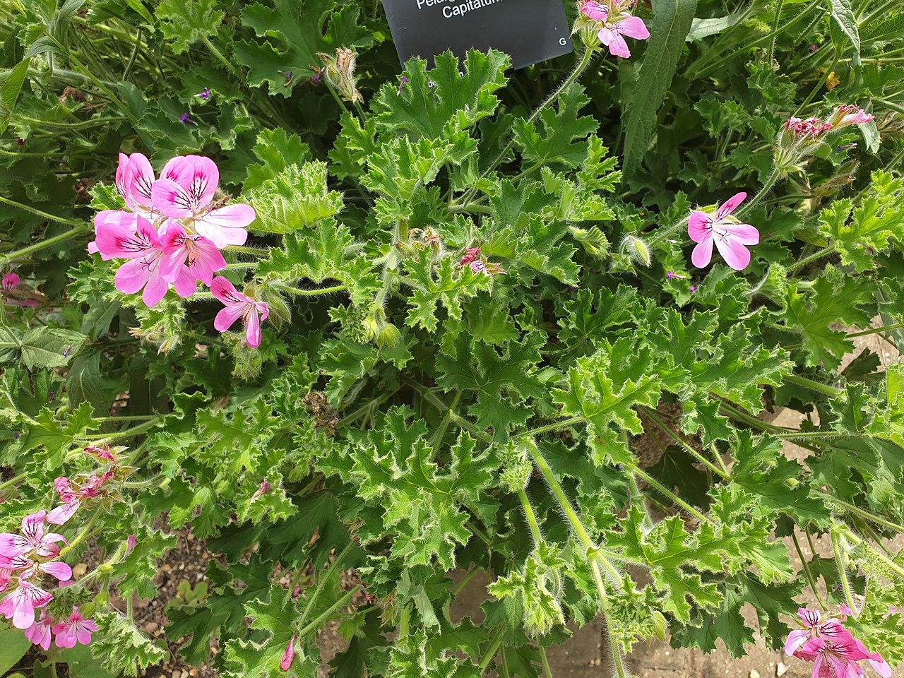 El Pelargonium capitatum es una planta de flores rosadas