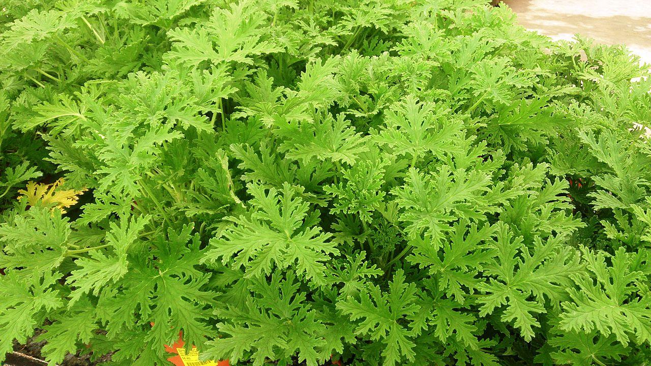 El Pelargonium citrosum es un cultivar de Pelargonium graveolens