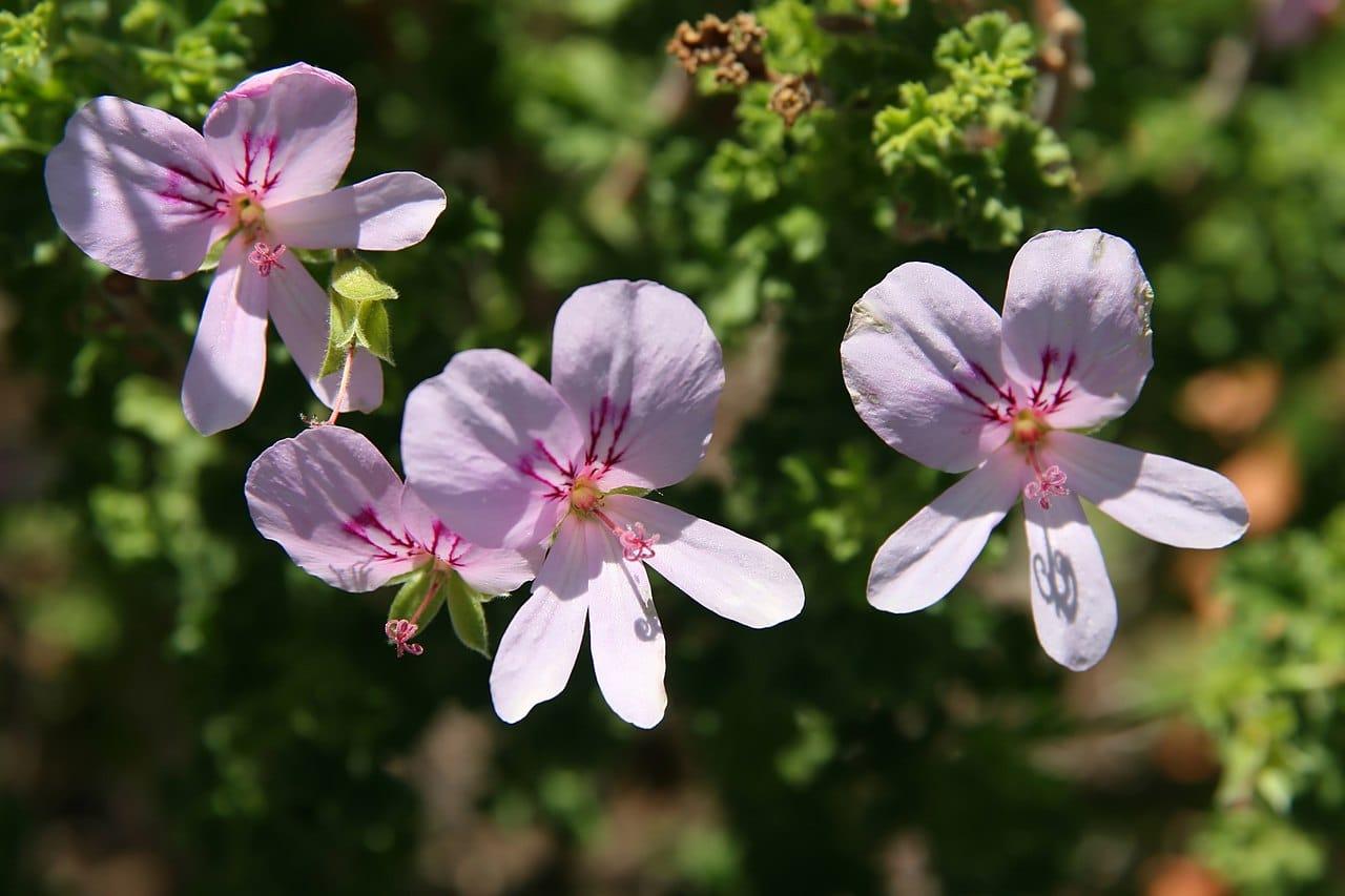 El Pelargonium crispum es una planta ornamental