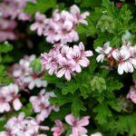 Los geranios se pueden plantar en el jardín en primavera