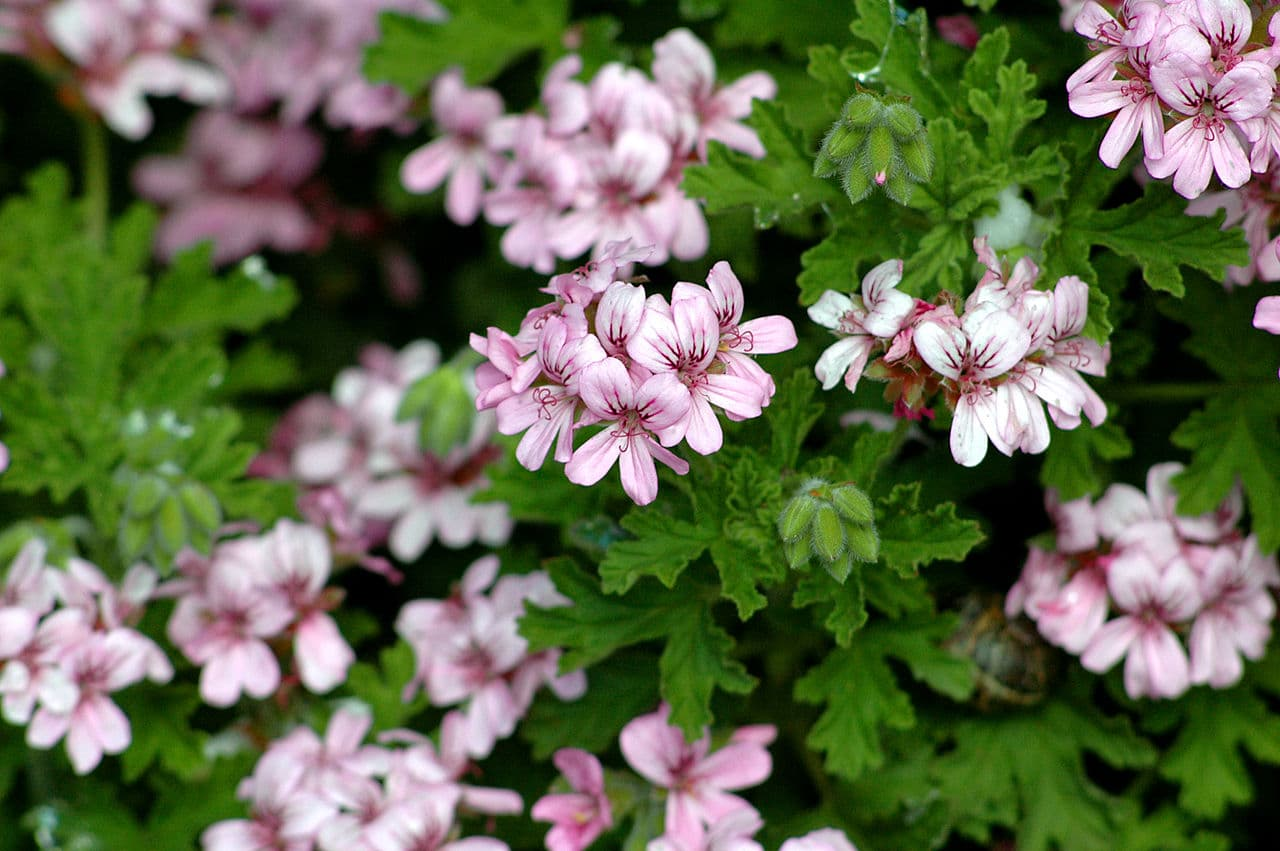 El Pleargonium graveolens es una planta ornamental