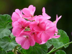 El Pelargonium hortorum es un tipo de geranio que no necesita mucha luz