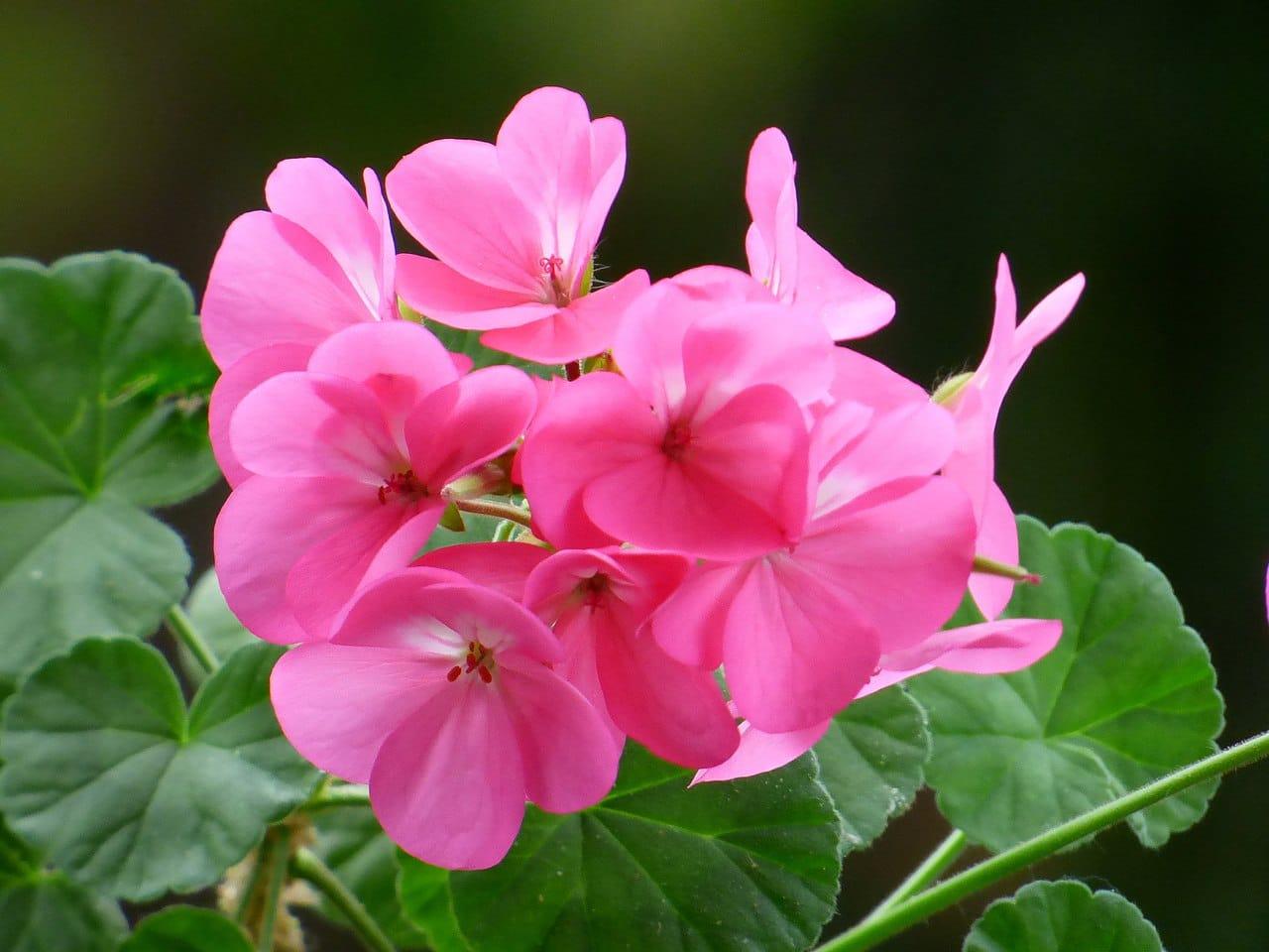 El Pelargonium hortorum es un tipo de geranio