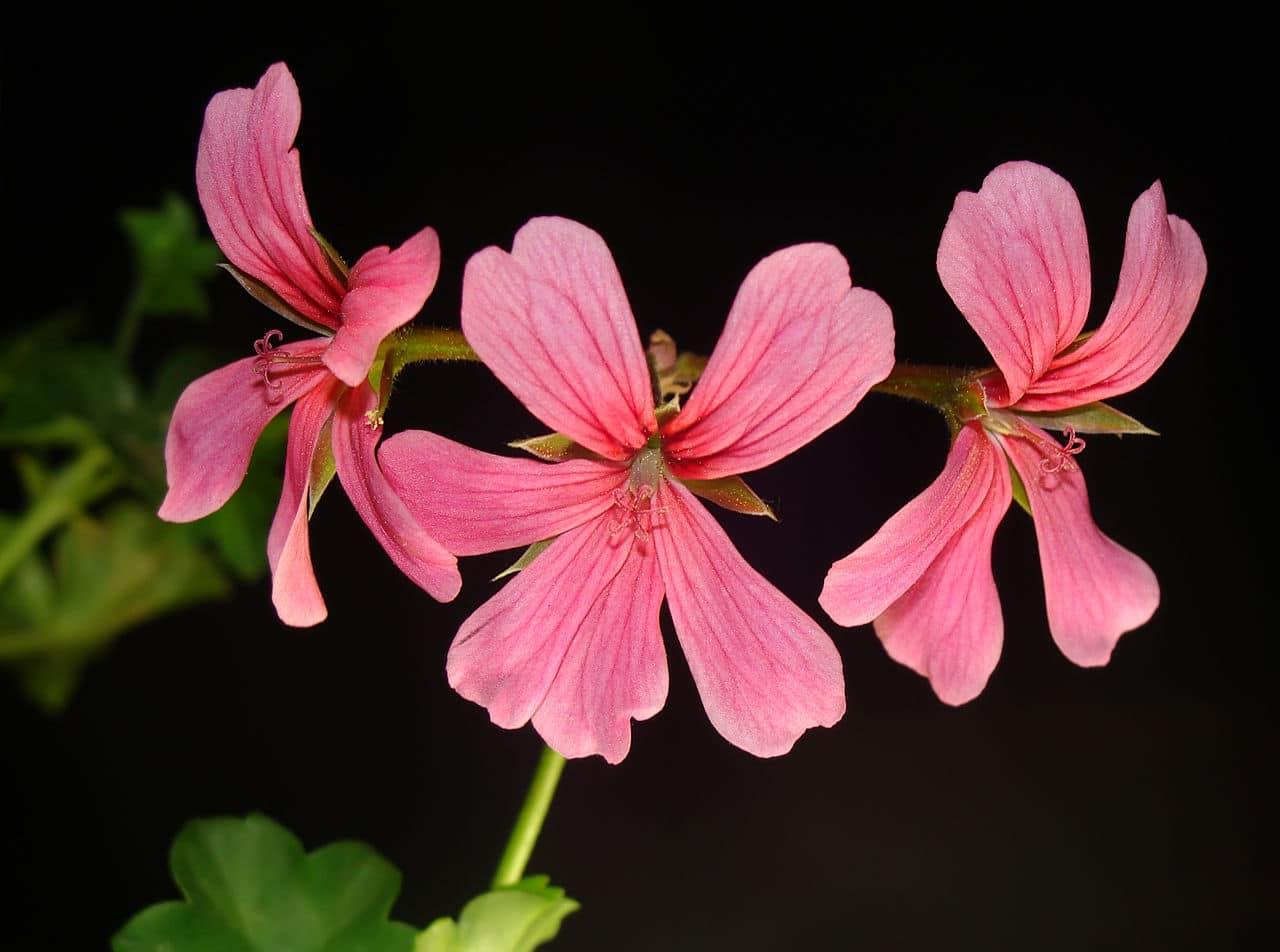 El Pelargonium peltatum es un tipo de geranio ornamental
