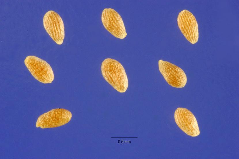 Semillas artemisa