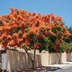Delonix regia, un árbol para maceta