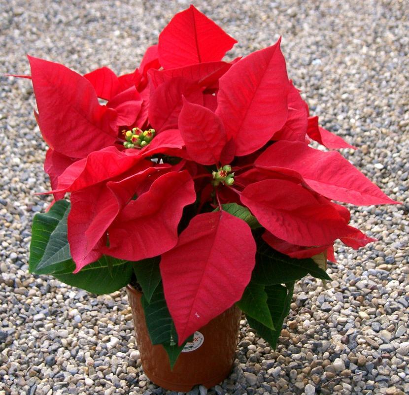 Euphorbia pulcherrima, la planta de Navidad