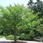 Ginkgo biloba, así luce en primavera y verano