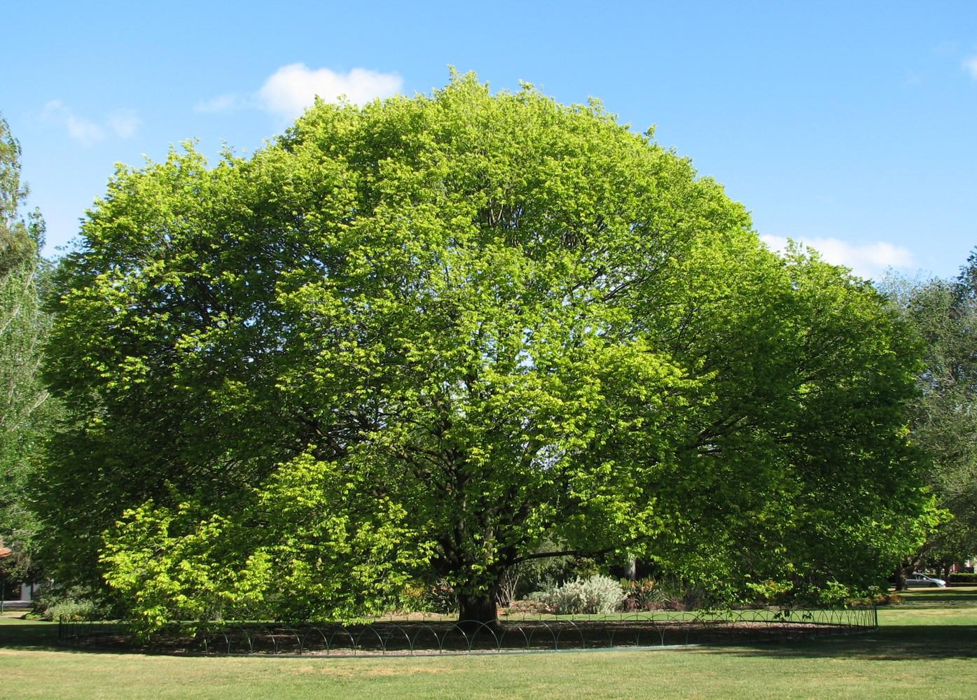 El Ulmus glabra es un árbol caducifolio