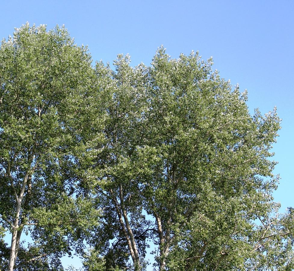 Los álamos son buenos árboles para setos