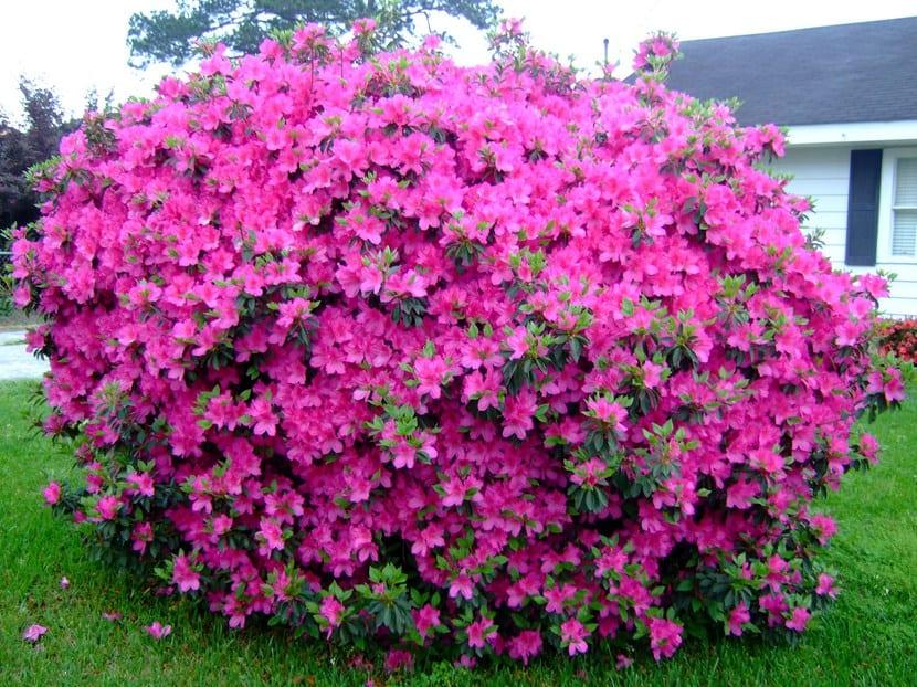 Coloridas azaleas en el jard n - Arbustos con flores ...